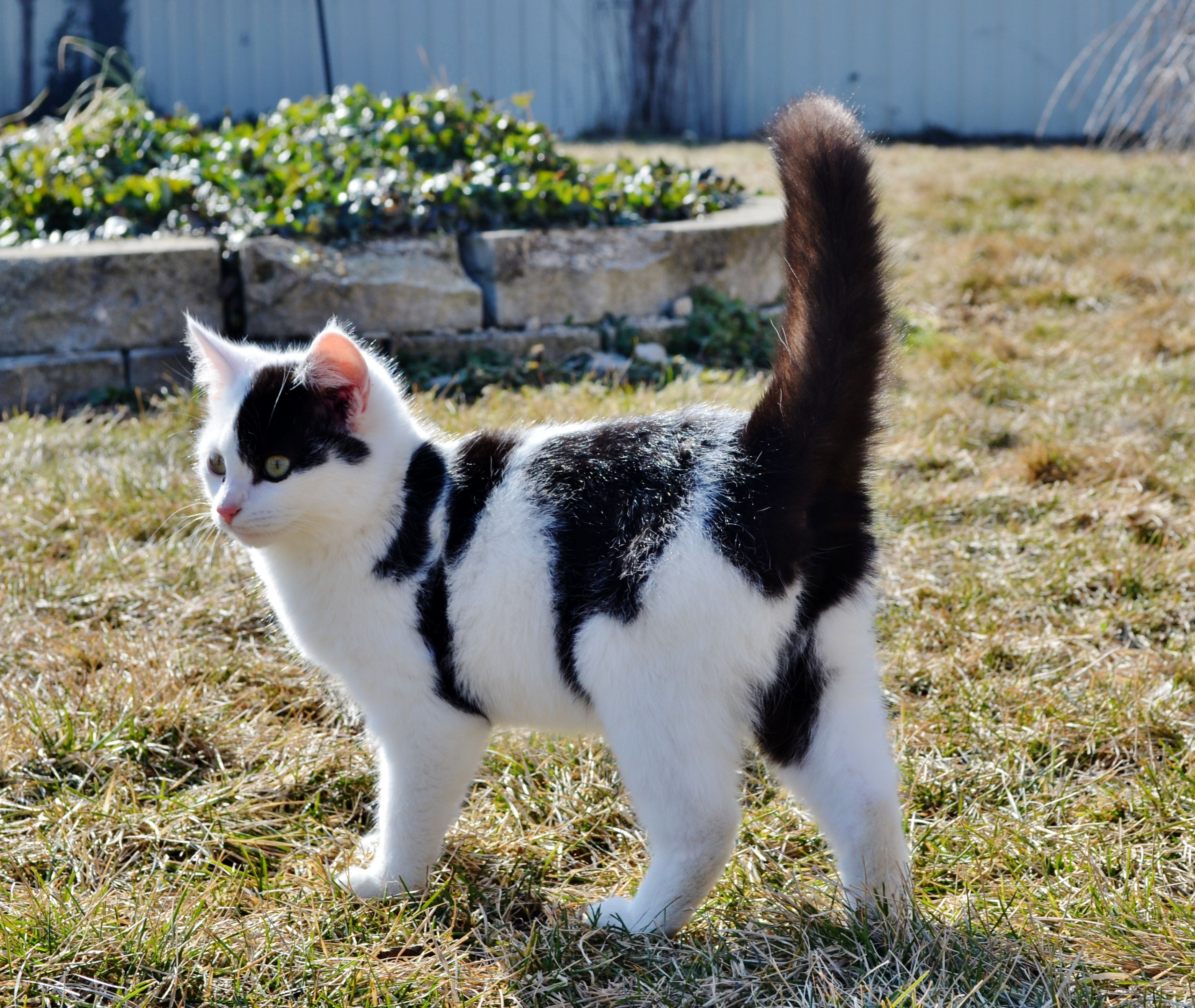 Black And White Spotted Cat Kitten Spotted Cat Cats And Kittens Kitten