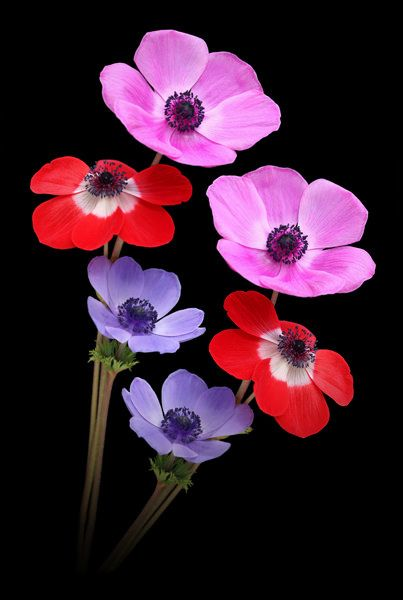 Anemones Pretty Flowers Flowers Nature Beautiful Flowers