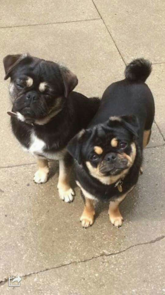 Pugs Image By Louise Lovett Cute Baby Animals Cute Animals