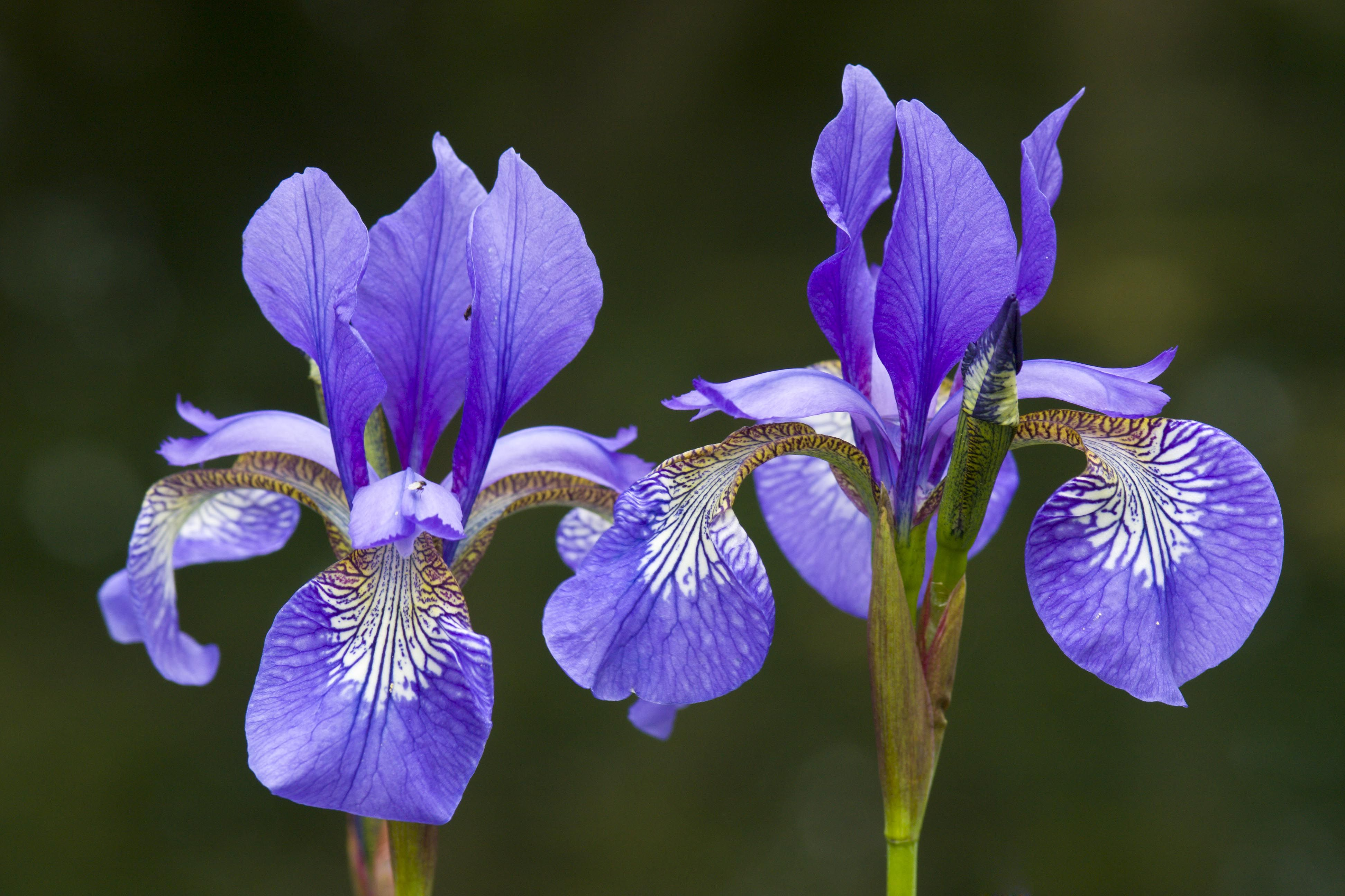 Pin By Janeen Agricola On Iris Flower Pinterest Iris Flowers