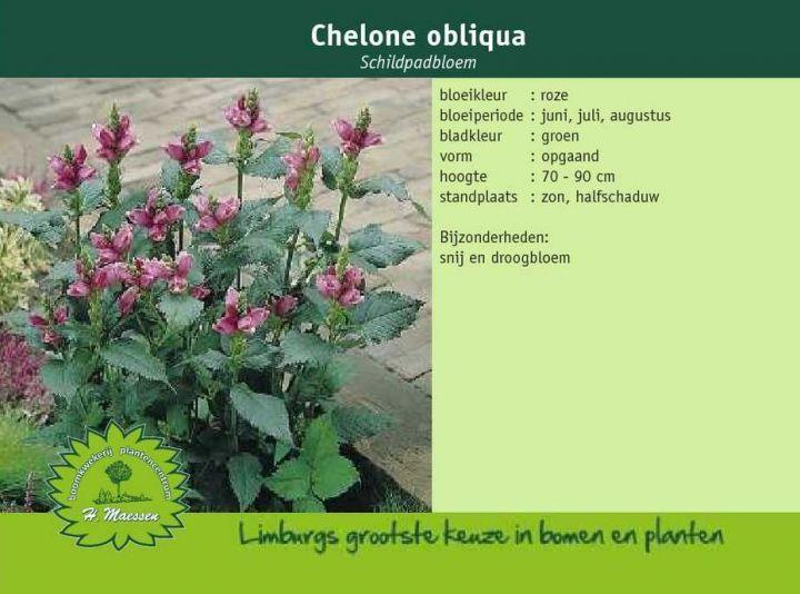 Schildpadbloem - Chelone obliqua