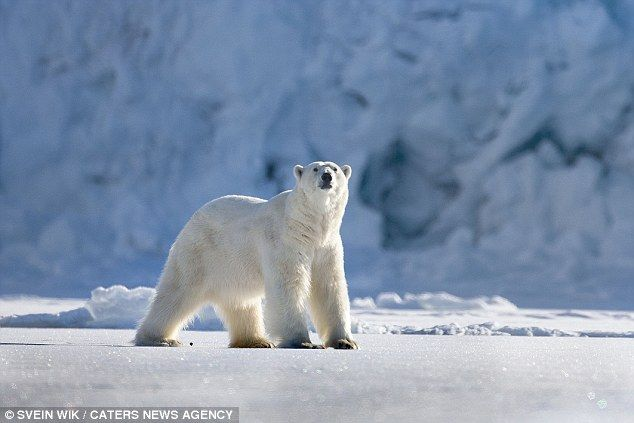 Proud: Polar bears are the Arctic Circle's apex predators and have adapted to the habitat ...