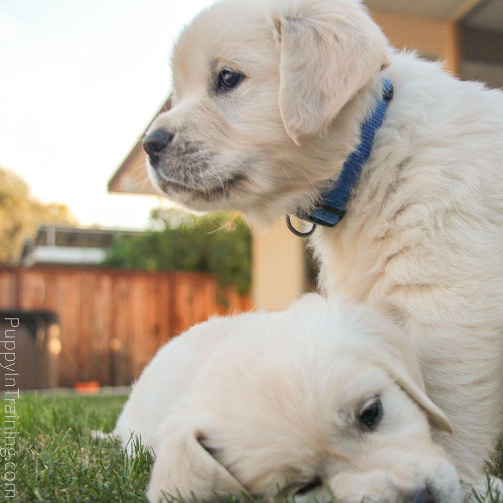 English Cream Golden Retriever Puppies Growth And Development Week