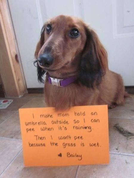 They Are All Alike Aren T They No To Wet Grass And Won T Go Out In The Rain Without An Umbrella Dog Shaming Dog Shaming Funny Funny Dachshund