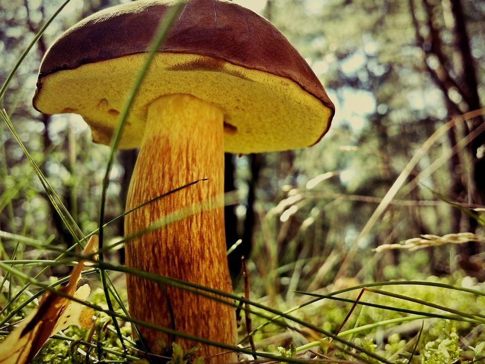 Der Pilz. Die Pilze.  Ein Pilz steht im Wald.