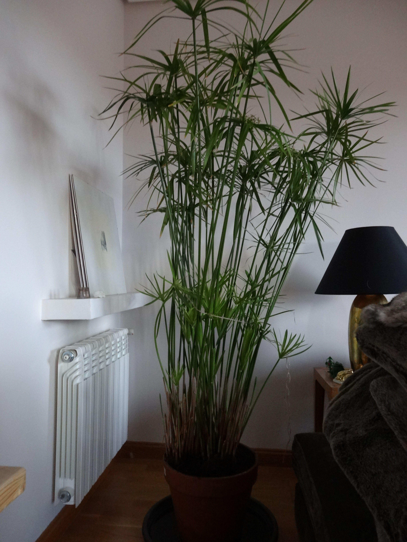 Papiro hermoso con mucha vida precio 70 euros planta for Plantas de interior precios