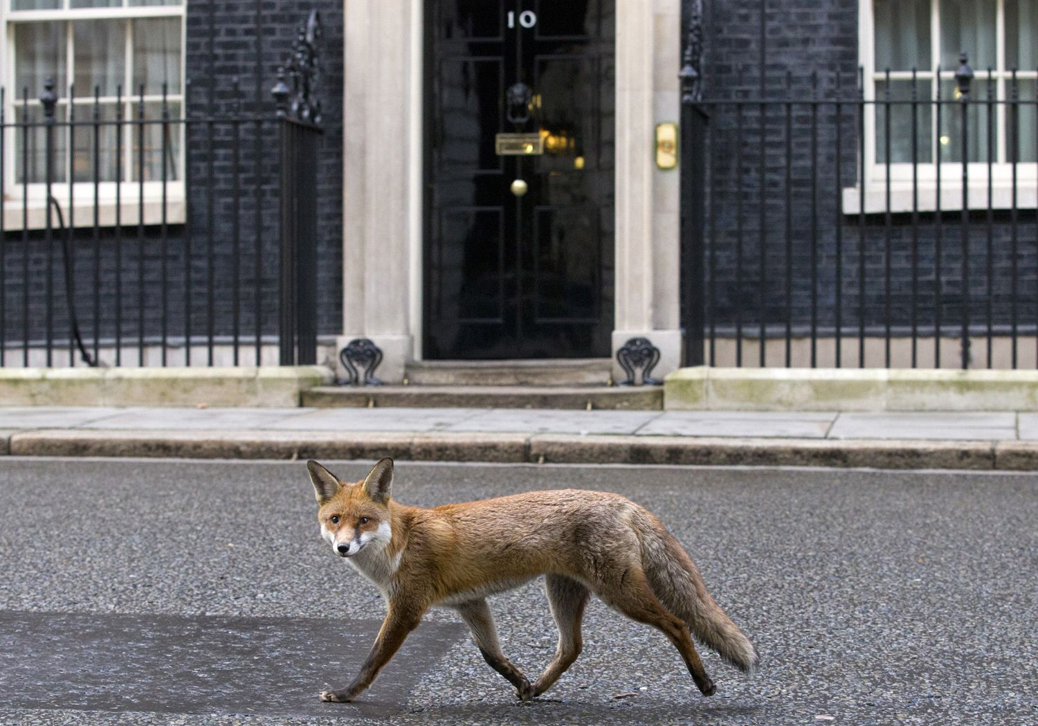 A fox runs past the door of 10 Downing Street in London on January 13.