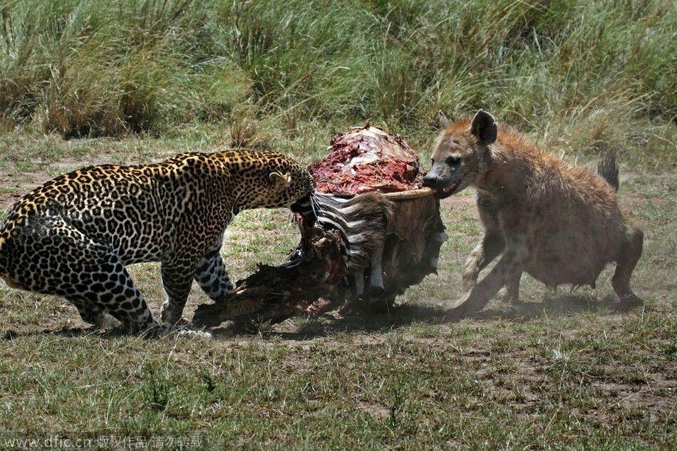 Hyenas With Zebra Carcass Wild Animals Attack Animals Wild