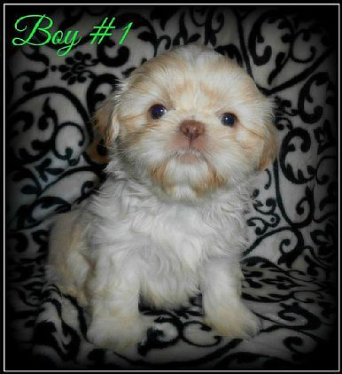 Shih Tzu Puppies Pet Dog Puppies For Sale In Hannacroix Ny A00006 Want Ad Digest Classified Ads Pet Dogs Puppies Pets Shih Tzu Puppy