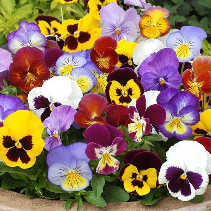 Cveti Lublu Daru Tvitter Pansies Flowers Flower Seeds Pansies