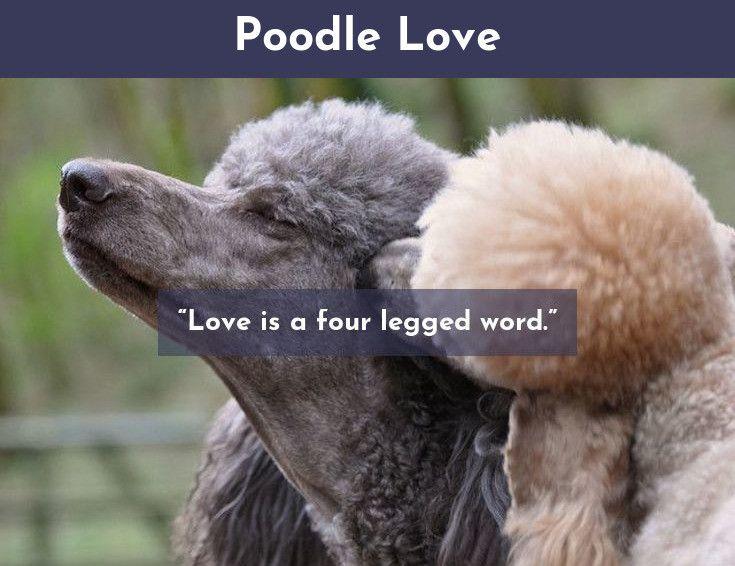 Poodles Smart Active And Proud Poodle Pinterest Poodle