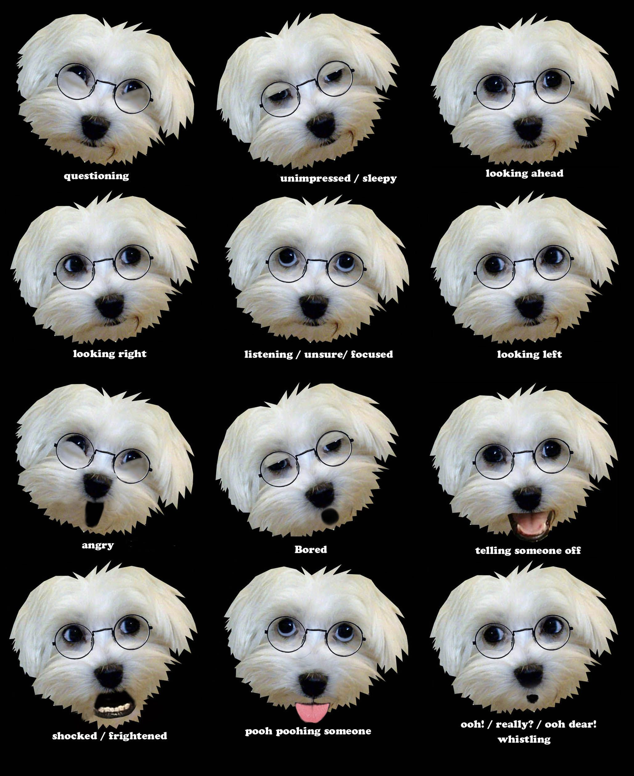 How To Read Maltese Dog Facial Expressions Maltese Dogs