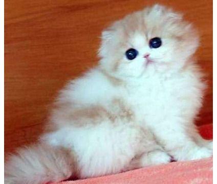 Dcvbnk Adorable Siamese Kitten Now Available Kitten Adoption Siamese Kittens Abyssinian Cats
