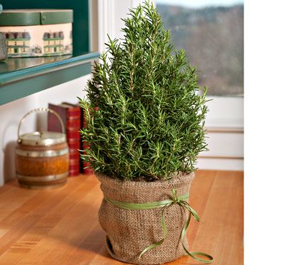 Rosemary Tree This Charming Rosemary Plant Has Been