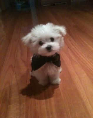 Baby Maltese Puppies Maltese Puppy Cute Animals