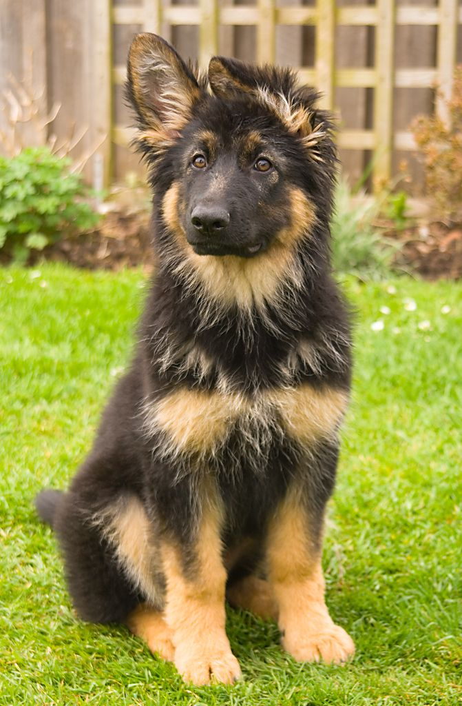 Long-haired Black and Red German Shepherd Dog