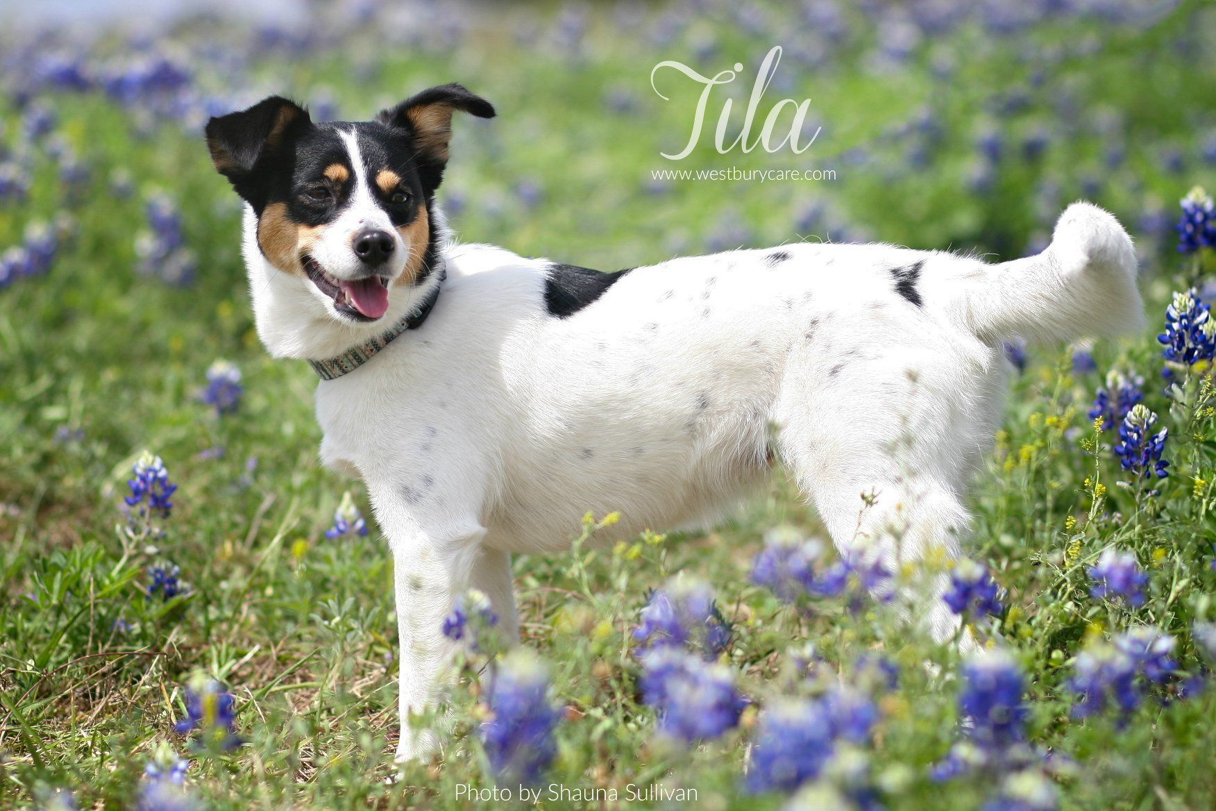 Adopt Tila On Rat Terrier Dogs Rat Terriers Dog Adoption
