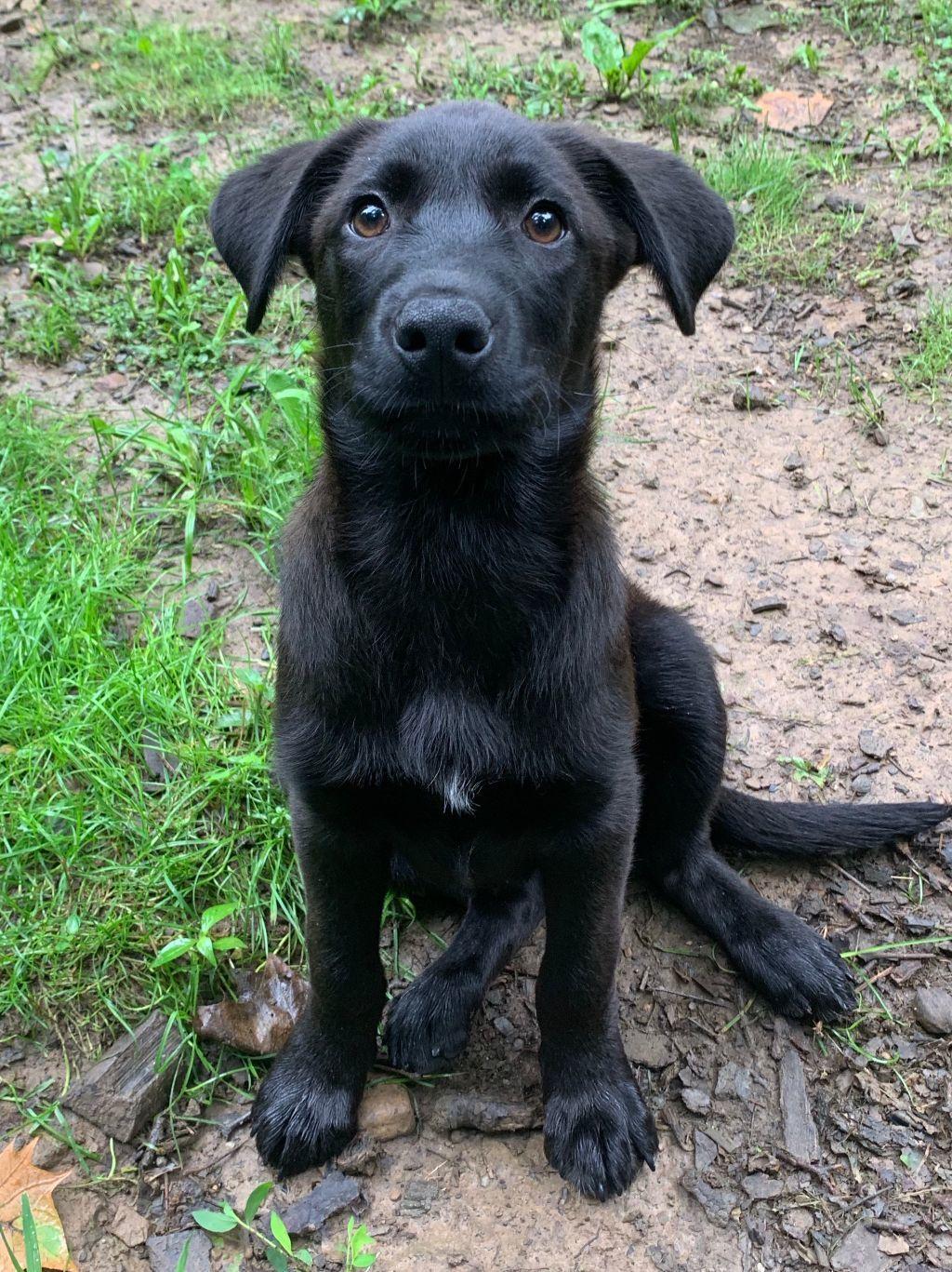 German Shepherd Puppies Nj For Adoption 2021
