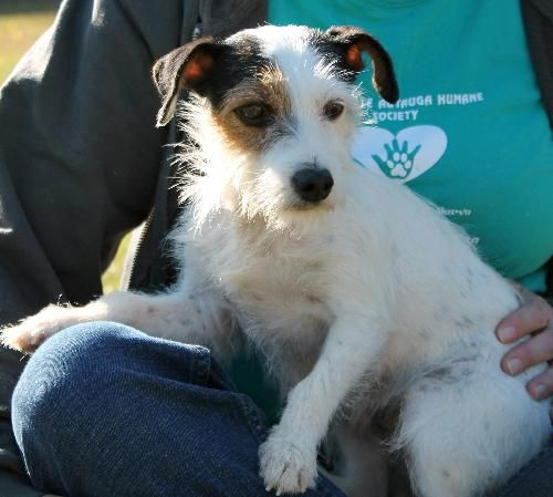 Darci Is A 1 Year Old Female Jack Russell Terrier Mix She Is