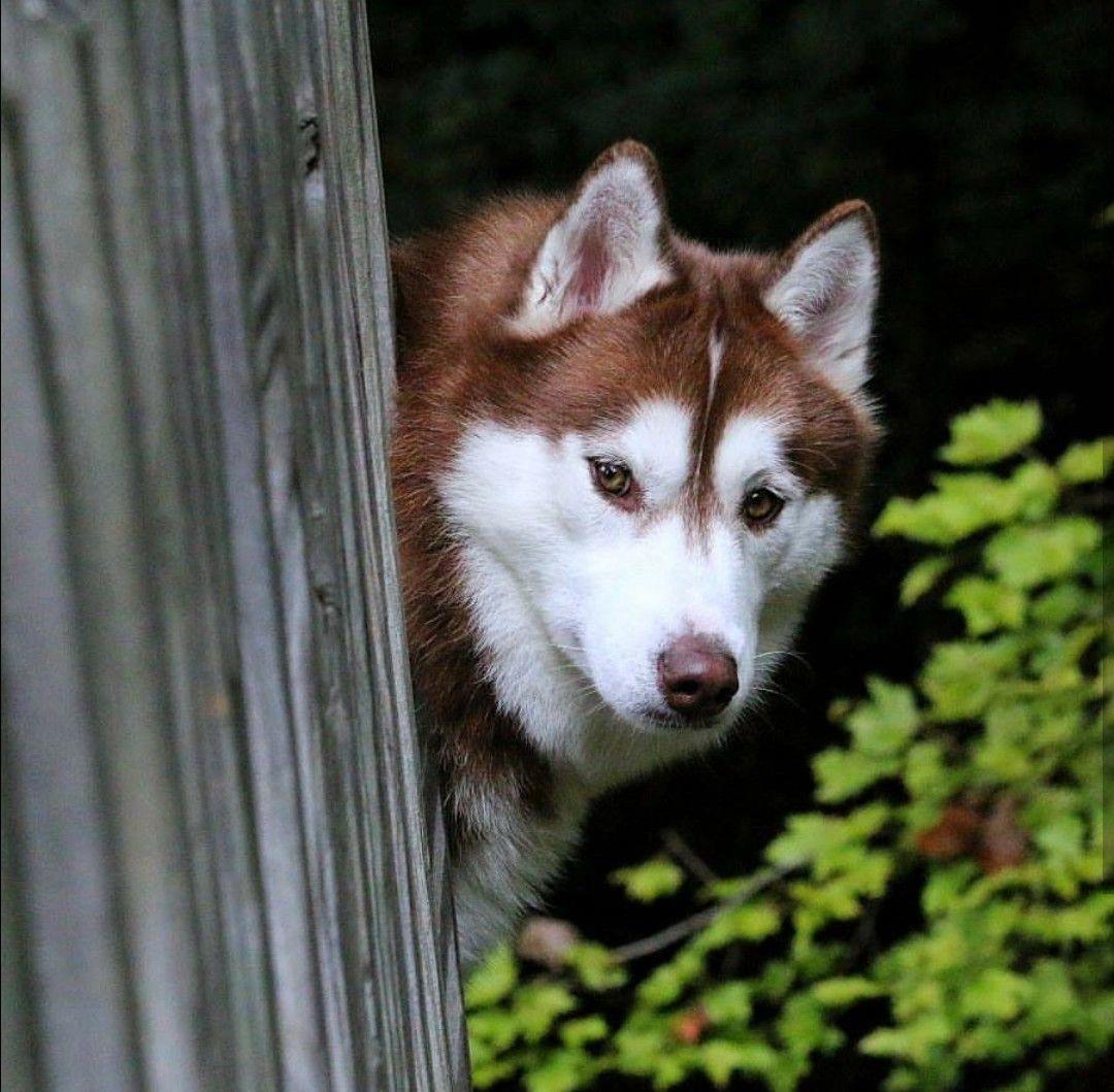 All About Agile Siberian Huskies Temperament
