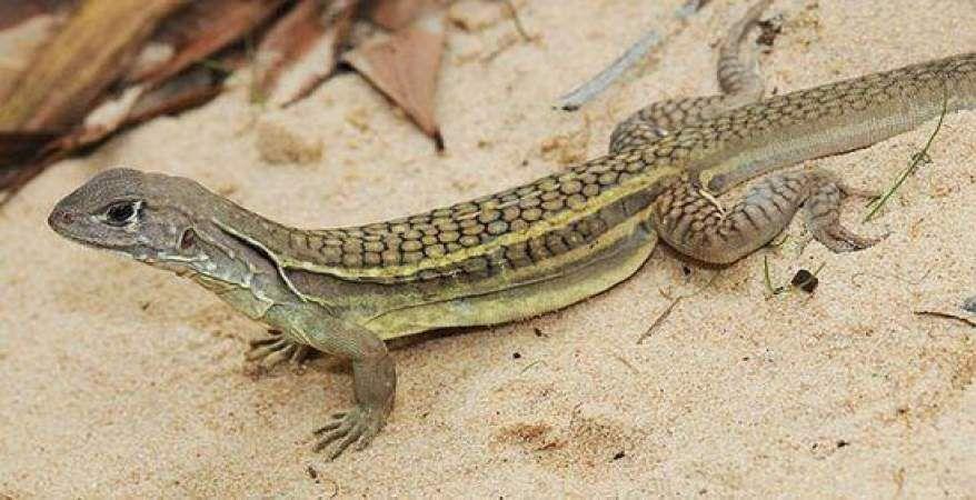 أسرار تفسير رؤية السحالي في المنام ابن سيرين في الخير والشر موسوعة Lizard Species Lizard Animals