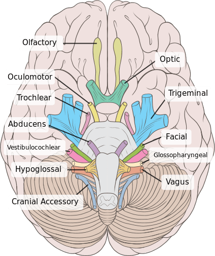 Base of the skull brain cranial nerves and school base of the skull ccuart Image collections