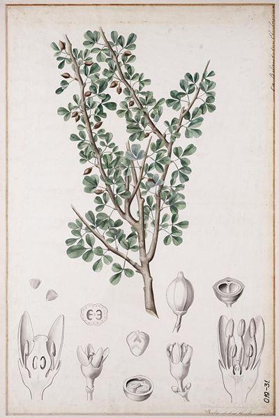 Mirre (commiphora molmol)