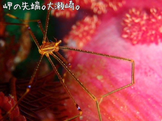 Ortmann S Spider Crab Oosezaki Izu Japan 岬