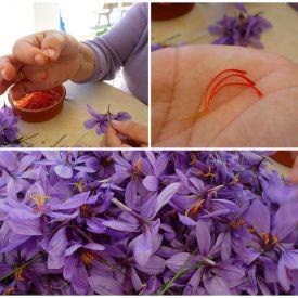 Szafran To Wysuszone Znamiona Kwiatow By Uzyskac 1 Kg Tej Przyprawy Trzeba Zebrac 150 000 Kwiatow Fot Suburning Saffron Flower Saffron Recipes Saffron Spice