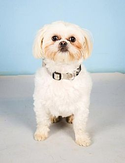 St Louis Park Mn Shih Tzu Meet Warner A Dog For Adoption