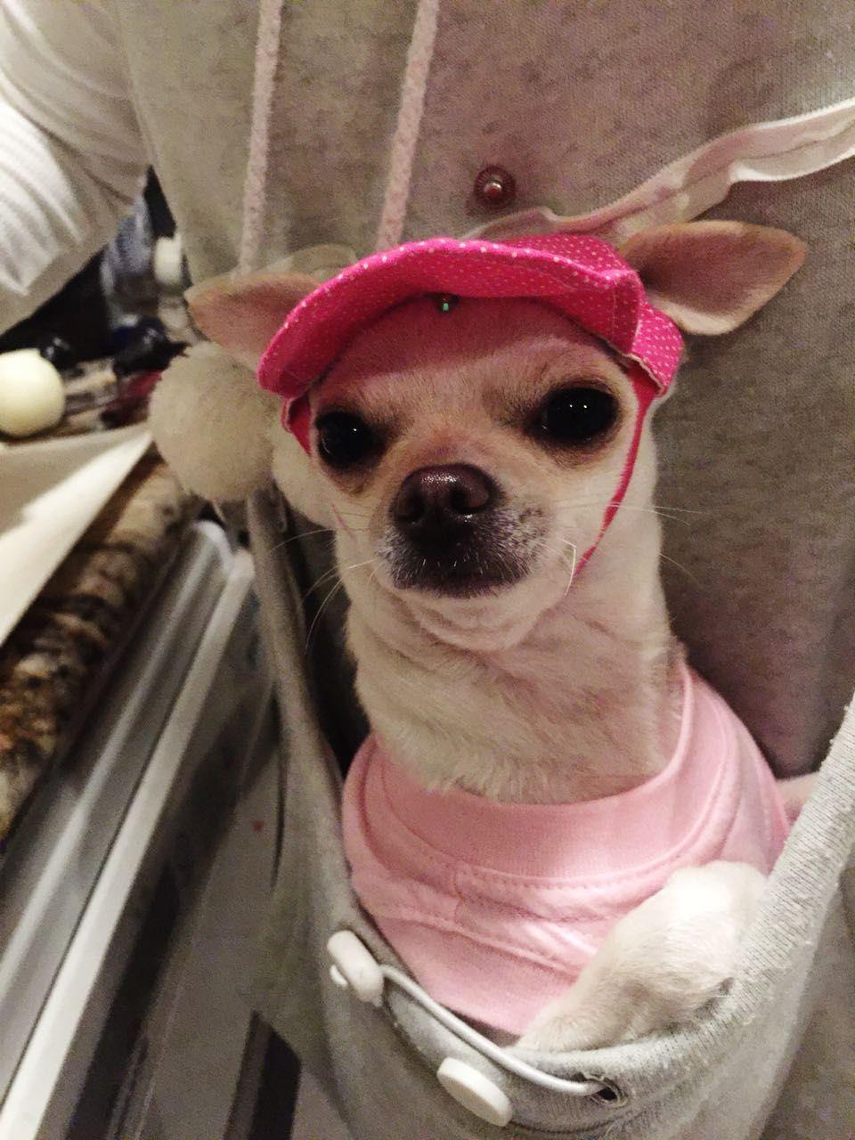 Our Girl Aurora Familia Chihuahua Br Chihuahua Love Cute Dogs