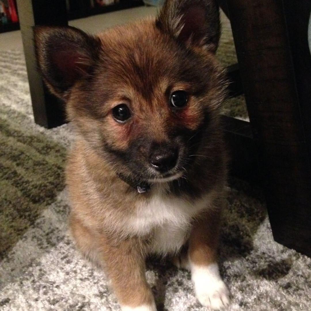 Pomshi Also Called Shibapom Pomeranian Shiba Inu Mix Named Theo Dogs Hybrid Dogs I Love Dogs