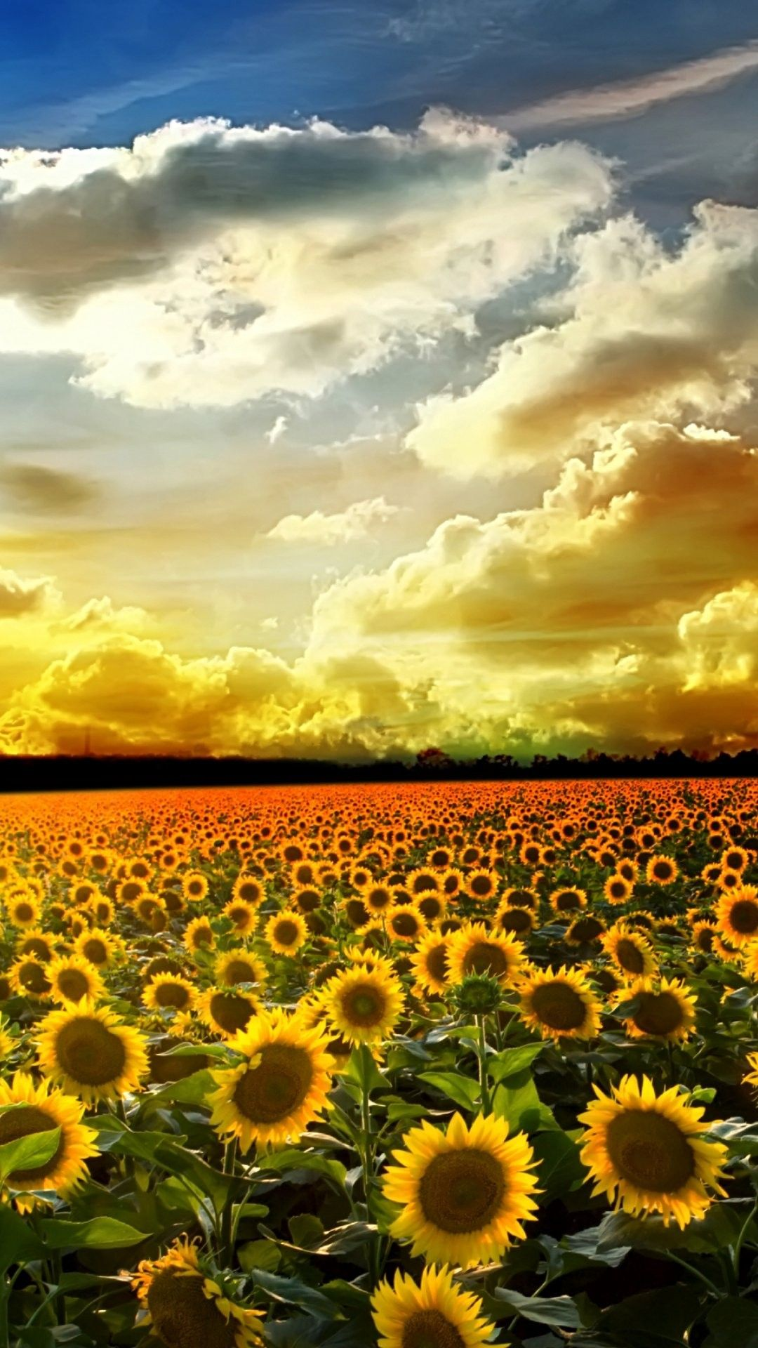 Sunflower Pictures iPhone 6 Plus Wallpaper 21589 - Flowers ...