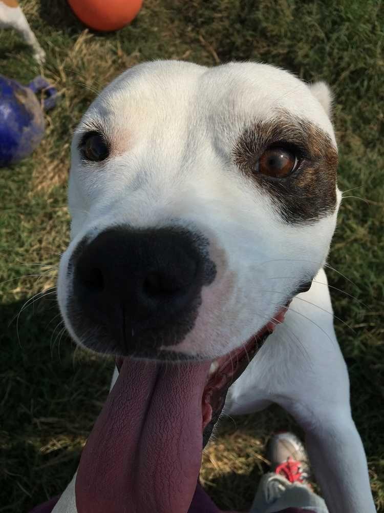 Bullboxer Pit dog for Adoption in Boston, MA. ADN651689