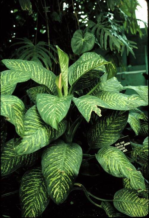Dumb Cane (ffenbachia hybrids) | This fast-growing plant ... Names Of Ffenbachia House Plants on