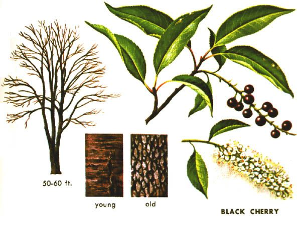 Cherry Tree Identification Guide