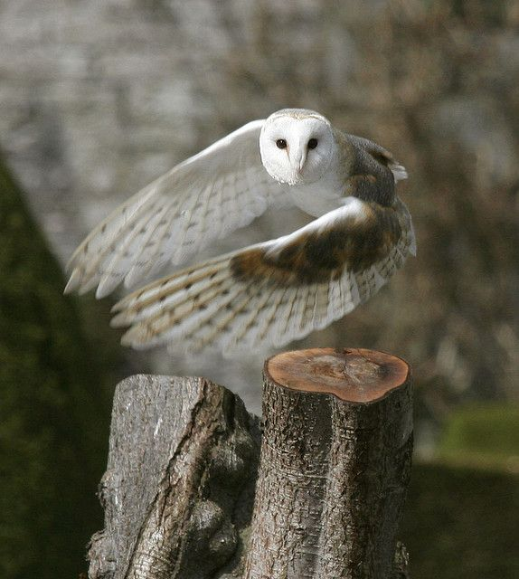Barn owl taking off by deemacphotos