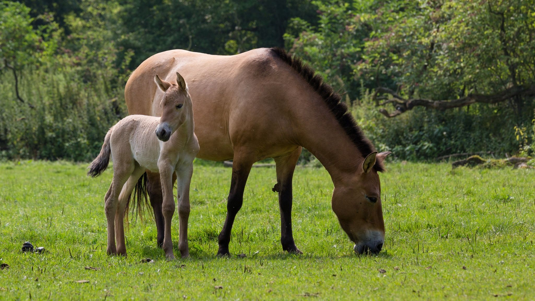 The przewalski horses by björn reibert on px horse przewalskis