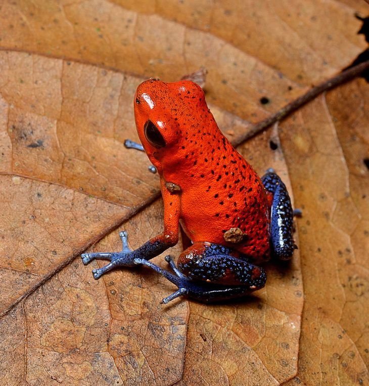 Oophaga pumilio -Morphs within the Hobby – The Frog Lady