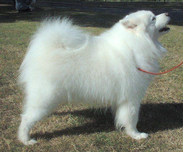 schipperke dog photo | Schipperke dog information | Schipperke food, health, behavior