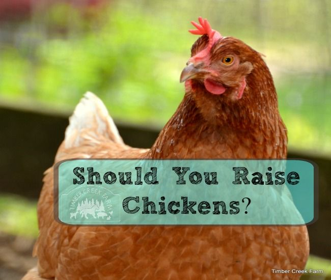 Should you raise chickens once you have a place of your own? If the homesteading journey has begun for your family, you may be ready to add livestock