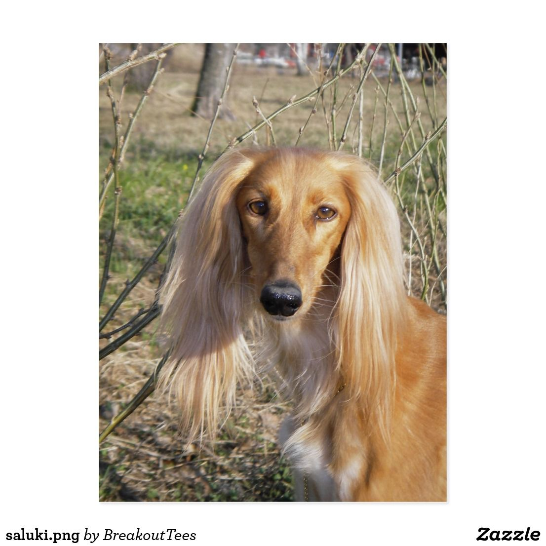 Saluki Png Postcard Zazzle Com Dogs Dog Pictures Dog Breeds