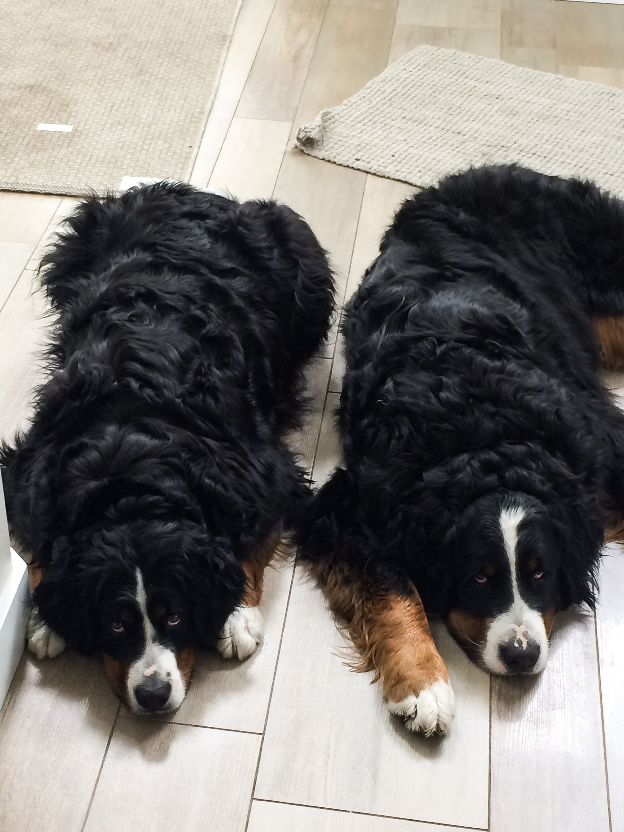 The Look You Get When You Promise Someone That Your Going For A Walk But You Go To The Bathroom F Bernese Mountain Dog Mountain Dogs Bernese Mountain Dog Puppy