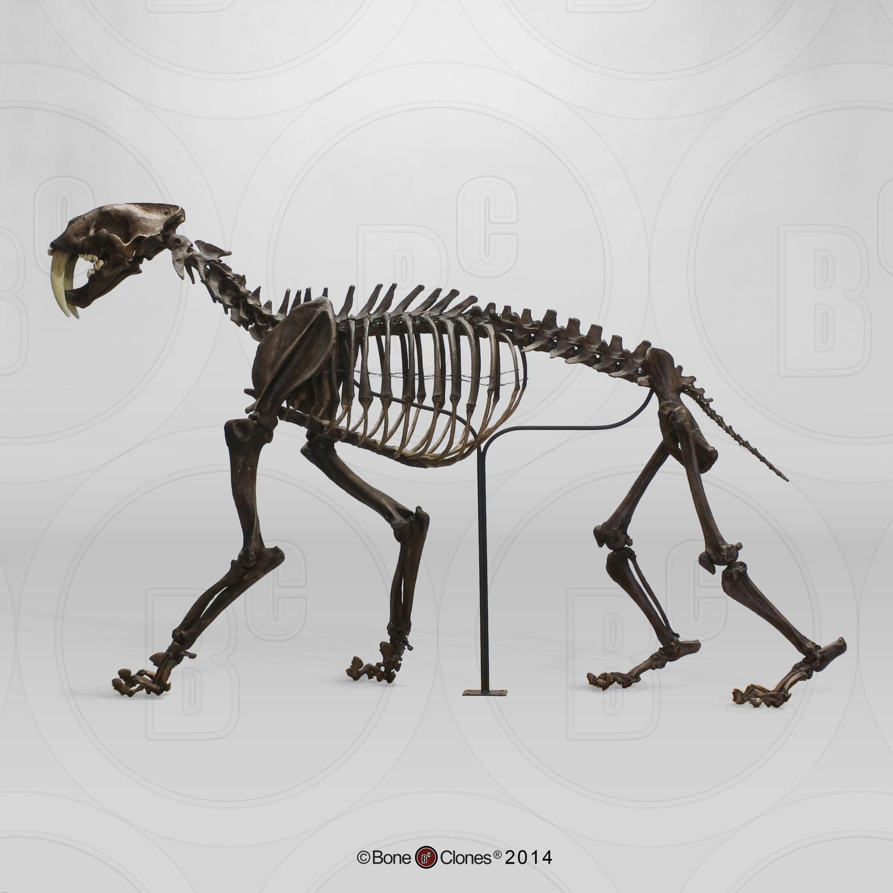 medium resolution of resultado de imagen de saber tooth tiger skull replica