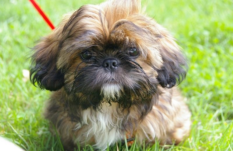 Shih Tzu Puppies for Sale near Me Find the Best Places to