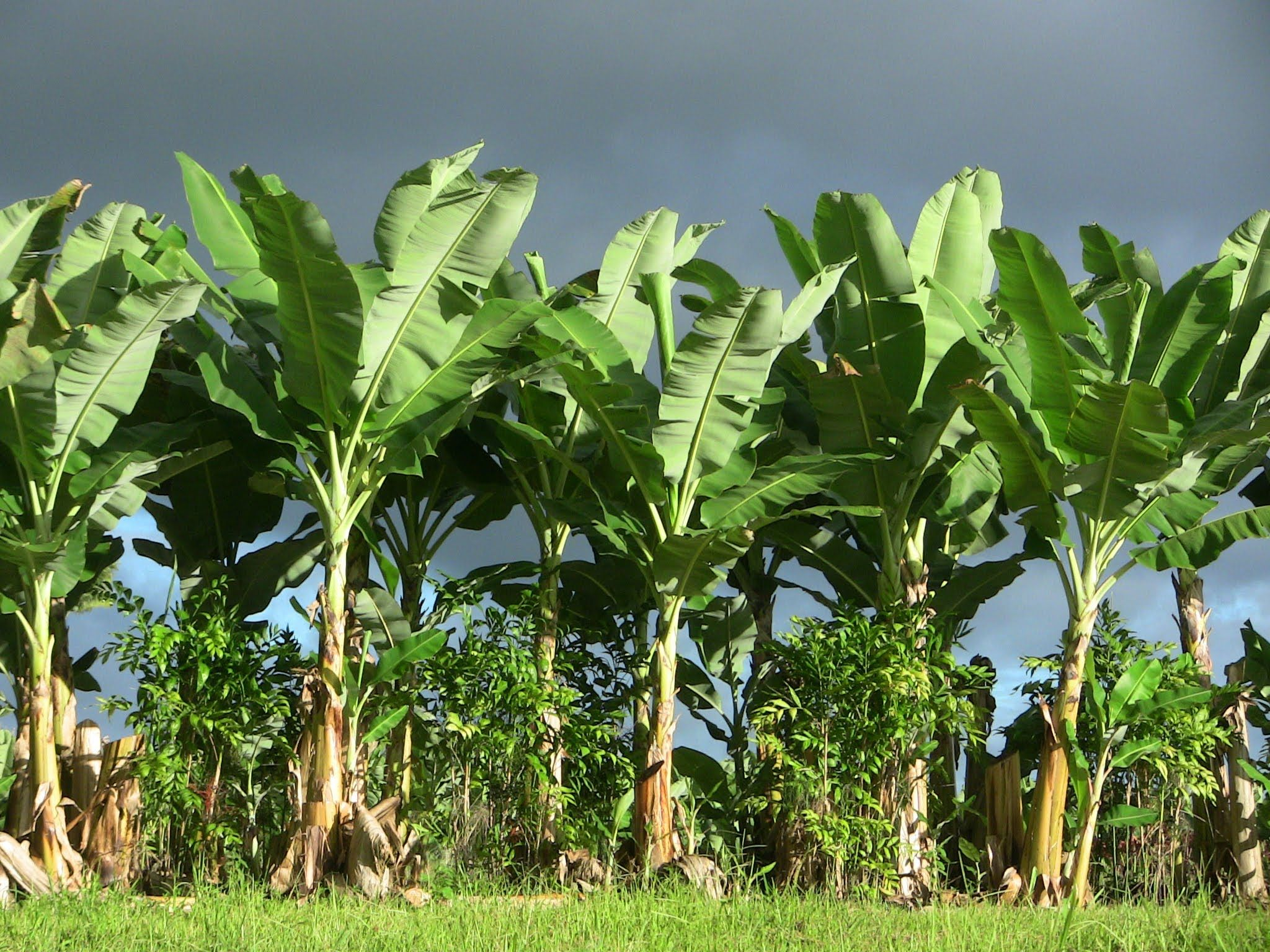 Banana Group Tree Banana Plants Banana Tree Grow Banana Tree