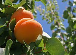 Aprikosenbaum Pflanzen Pflege Und Krankheiten