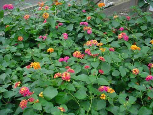 Confetti Lantana Lantana Plant Plant Roots Plants