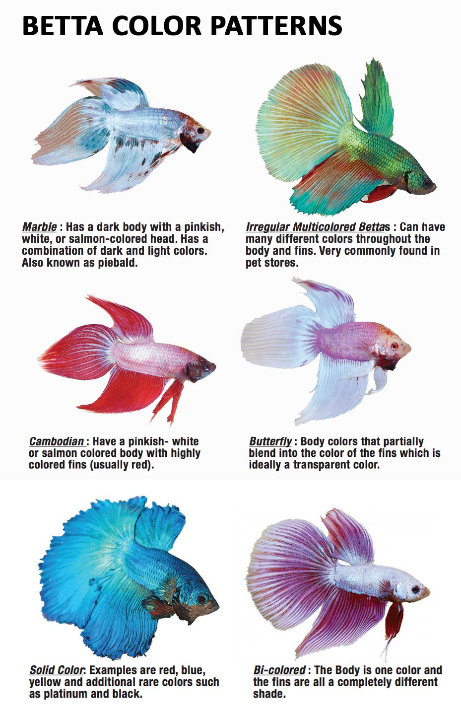 Different color varieties of betta fish parrot care for Female betta fish names