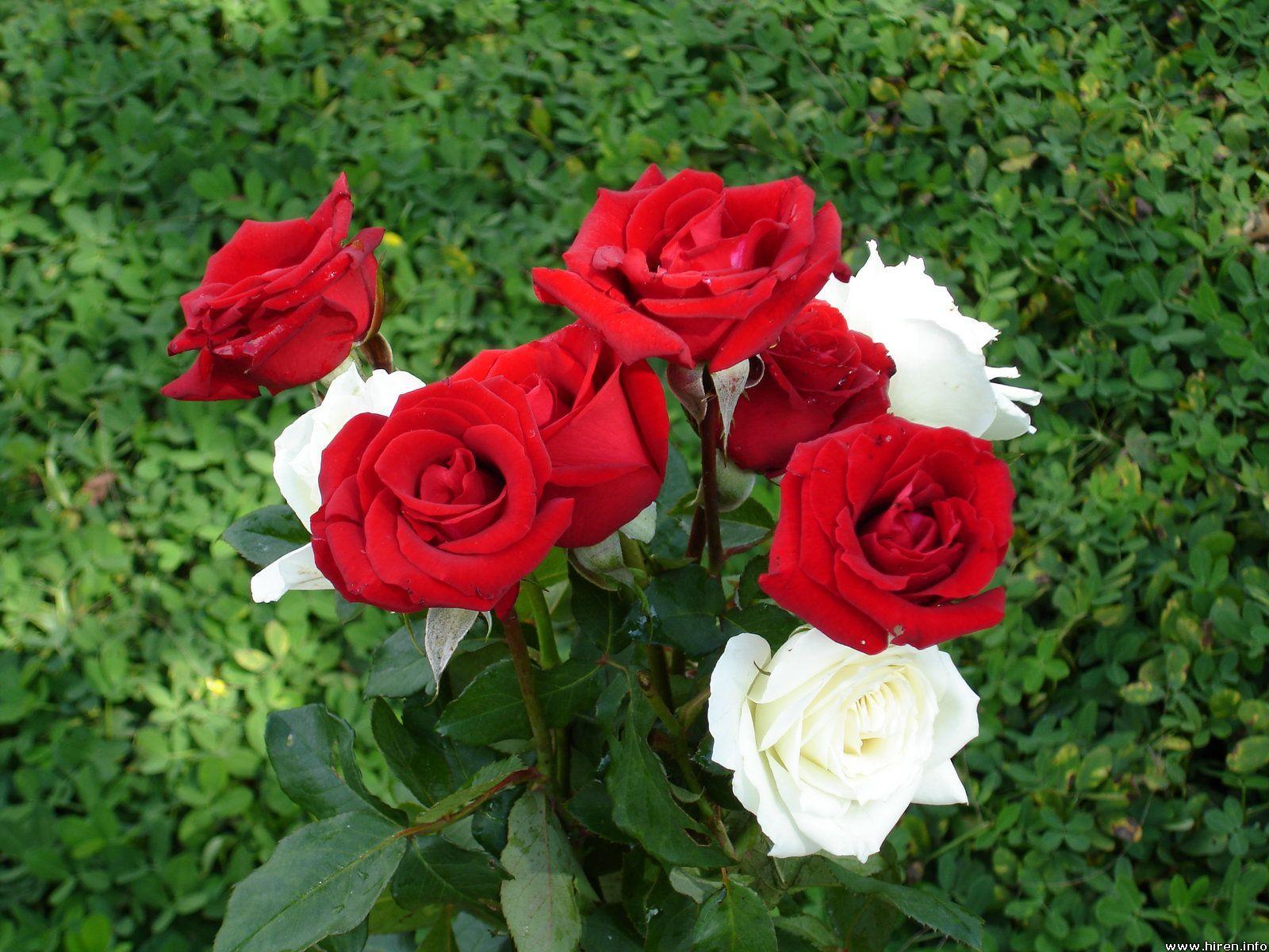 february flower Flowers, Rose Flowers,ooty Rose